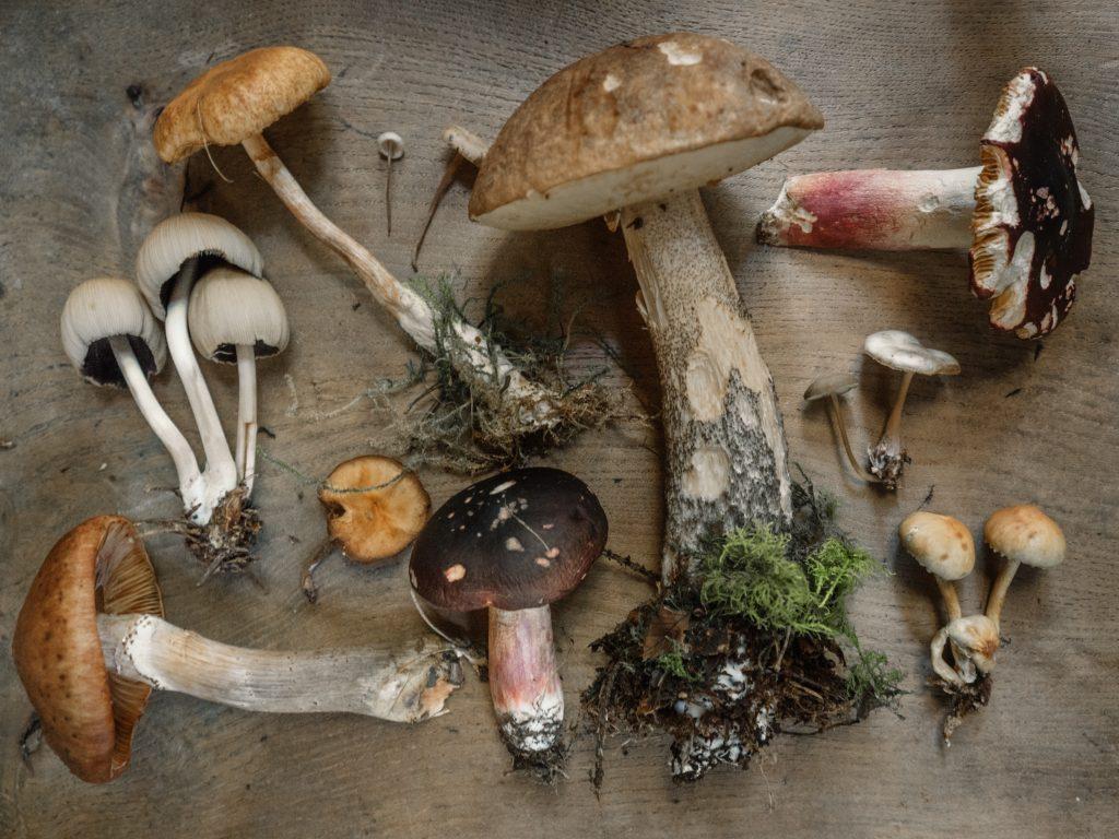 Auf einem Holztisch liegen einige frisch gepflückte Pilze
